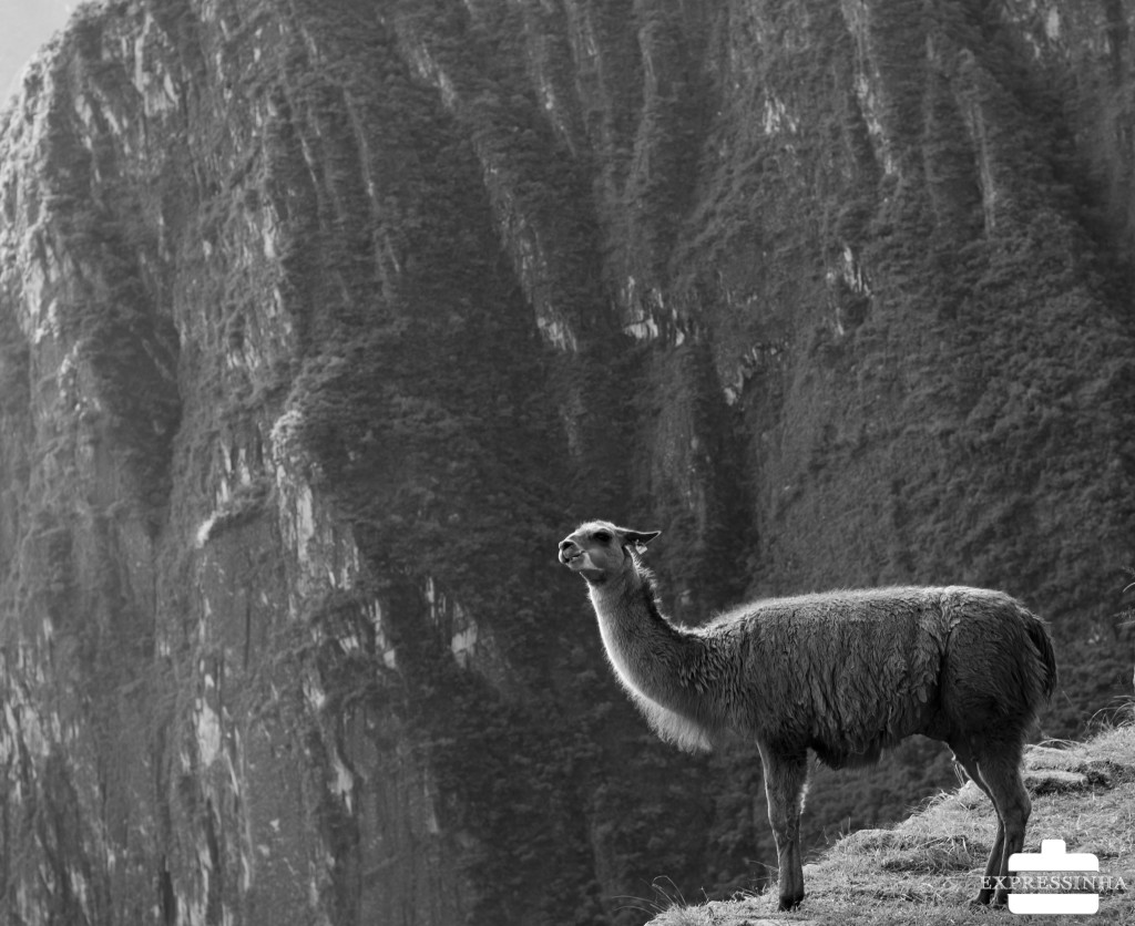Peru Machu Picchu Lhama
